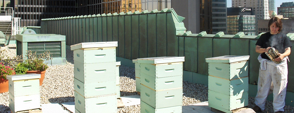 Mylee Nordin, Toronto Beekeepers Co-op, at Fairmont Royal York's Rooftop Apiary